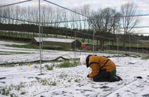 Climate shapes the distribution of plants - Laura J. Martin, a Brown graduate now a Ph.D candidate at Cornell, takes a census of surviving Arabidopsis plants at the field site in Norwich, England. Harvested plants were shipped to Brown for analysis.