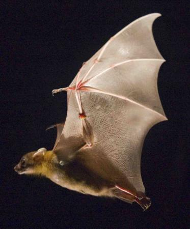 Efficiencies of flapping flight - By folding their wings in toward their bodies on the upstroke, bats use 35 percent less energy and reduce aerodynamic drag,  compensating for heavier, more muscular wings.