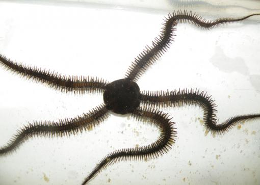 Why bother with turns or pivots? - The brittle star doesn't turn as most animals do. It simply designates another of its five limbs as its new front and continues moving forward.