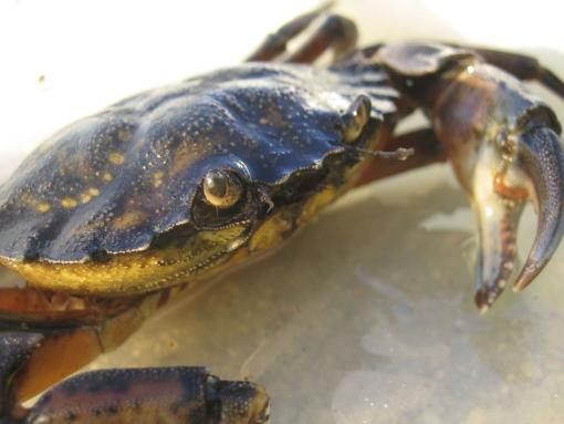 Conquering hero - Just the sight of Carcinus maenas, the invasive green crab, sends marsh grass-eating Sesarma reticulatum crabs running for their lives. The marshes and their grasses slowly recover.