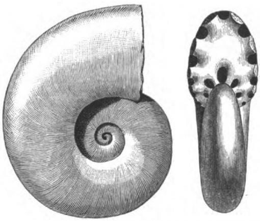 Ammonoid markers - A 50-million-year fossil record of ammonoids includes two kind of the nautilus-like creatures, swimmers and floaters. At two points of mass extinction, the swimming ammonoids disappear completely from the fossil record.