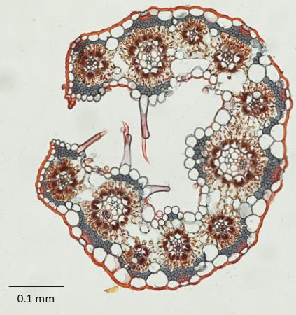 "Leaf of grass - The circle-shaped veins are relatively close together in this magnified cross-section of a leaf of Eriachne ciliata grass,  and  they are ringed by large ""bundle sheath"" cells. That anatomy promotes a more  efficient ""C4"" means of photosythesis."