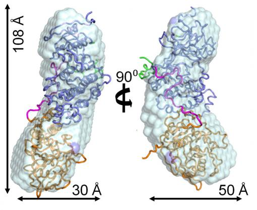 A complex complex - The p38alpha:HePTP enzyme complex, shown in  two views rotated 90 degrees, plays a key role in regulating cell  functions. Resolving its structure allows new  possibilities for fighting diseases that occur because regulation goes  wrong.