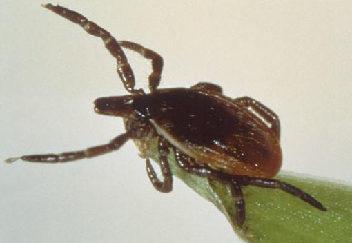 Deer ticks, Lyme disease, and medical guidance - Accepted medical practice discourages antibiotic retreatment in cases where Lyme disease symptoms persist. A new review of studies behind current medical advice says those studies prove nothing.