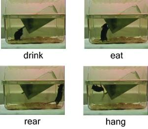 Behavioral analysis - New open-source software analyzes hours of video, identifying specific behaviors of laboratory mice.