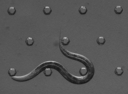 Collateral discovery - While conducting aversion studies with the C. elegans nematode, researchers noticed something strange. Although nematodes are usually in almost constant motion, the ones with an overexpressed osm-11 gene started taking naps. (See video version below.)
