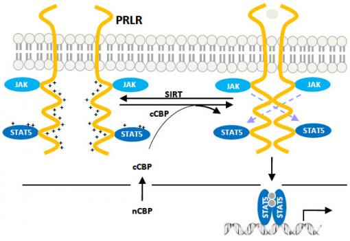 Working in pairs - Under certain conditions, prolactin receptors (yellow in this schematic) can be joined to form dimers — working pairs — that researchers say could contribute to the incidence of cancer.