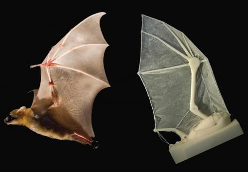 Wing of bat in life and lab - A robotic bat wing lets researchers measure forces, joint movements, and flight parameters — and learn more about how the real thing operates in nature.