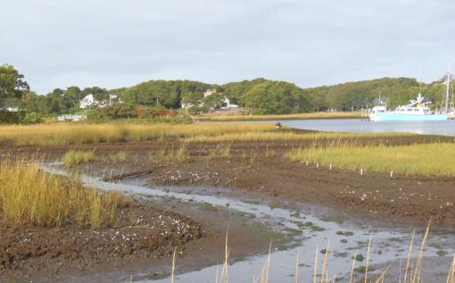 Food, glorious food - Salt marshes act as nurseries, supporting stocks of many economically important species. But marsh grasses are also food for the Sesarma crab, a marsh grass predator whose booming numbers are damaging the salt marsh ecosystem.