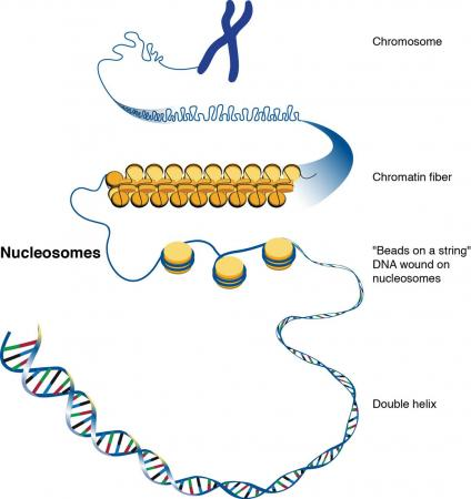 A younger cell's game - Cells control harmful transposons in DNA by wrapping them tightly around nucleosomes and packing them into chromatin fibers. The ability to maintain control of harmful transposons diminishes as cells age.