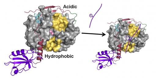 The Master Regulator - Research led by Wolfgang Peti of Brown University shows how a phosphatase called PP1 becomes more selective in protein-protein interactions. In the illustration, the phosphate spinophilin binds to one of PP1's three available binding sites, reducing the number of available substrates for other proteins.