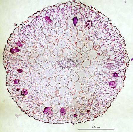 Ring of veins - Veins, internal to the dark purple-stained mucilage deposits of this cross-section of a succulent Phemeranthus teretifolius leaf, are arranged in a ring shape that reduces the distance between veins and photosynthetic cells.