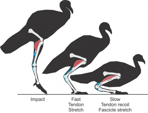 A safer landing for muscles - When a turkey lands after a jump, tendons absorb the initial energy by stretching like coiled springs. Muscles, which prepare in advance for impact, also absorb energy by stretching, but only after the tendons have blunted the shock.