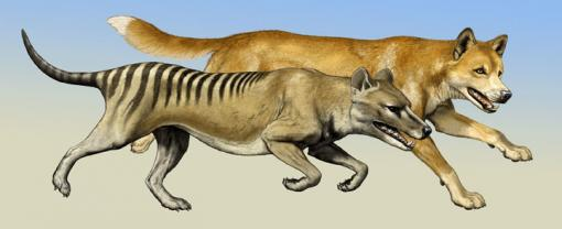 Cat-like or dog-like? - Though highly similar in their skull anatomy, specialized for a carnivorous diet, the thylacine, front, and the dingo very likely had different hunting styles. Researchers analyzing skeletons of the forelimbs found important differences.