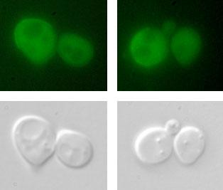"A mechanism for change - Common yeast cells like these are able to change from the ""a"" to the ""alpha"" type by removing a protein that prevents certain genes from being expressed. Understanding that mechanism could lead to new interventions in pathologies where the cell transformation process goes wrong."