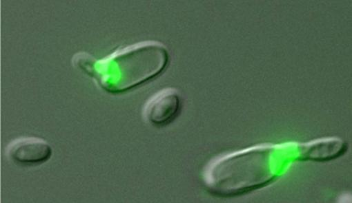 Meiosis and mating - Green fluorescence in these yeast cells indicates that they are secreting pheromones, a mating behavior, while also undergoing meiosis.
