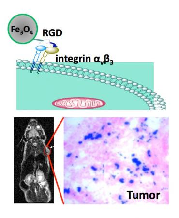 Nanobonding - The illustration (top) shows how a RGD peptide-coated iron oxide nanoparticle binds with an integrin-rich tumor cell. At bottom left is a MRI of a mouse with the implanted U87MG tumor (red circle). At bottom right is an optical image that reveals iron oxide nanoparticles (blue) amassed in the tumor area (pink).
