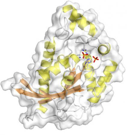 TIGAR! TIGAR! - Researchers at Brown have worked out the three-dimensional structure of an enzyme known as TIGAR. Because it is a marker for cell damage and repair, TIGAR could signal physicians that cancer may be developing.
