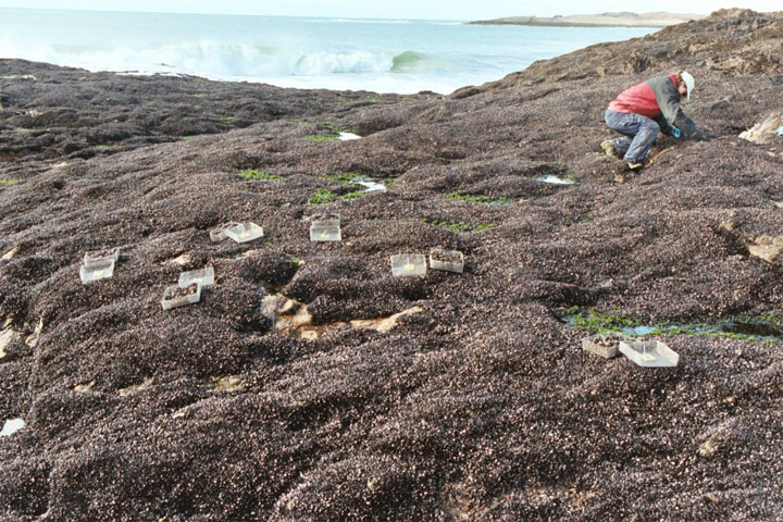 "Mussel beds in Patagonia: Hundreds of studies over two decades from sites around the world suggest that the Stress Gradient Hypothesis can be employed as a rule of thumb. ""We're no longer in the casual, earlier stages of ecology,"" says biologist Mark Bertness."