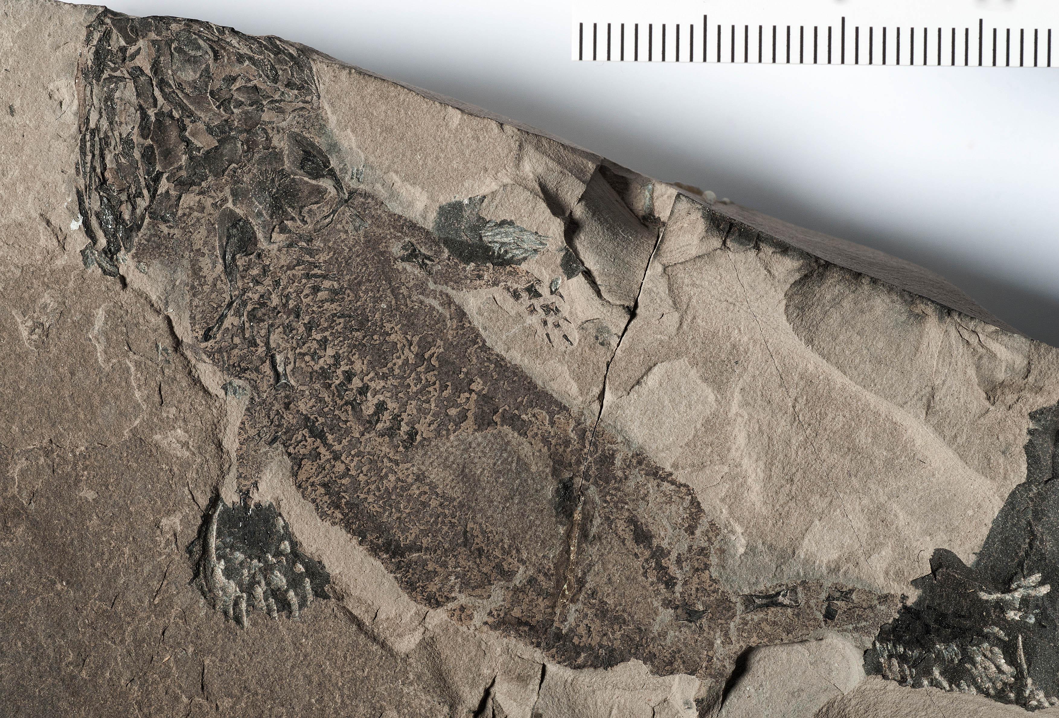 Micromelerpeton credneri fossil