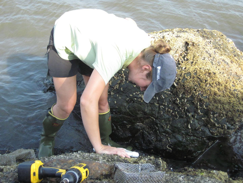 Zebra mussel - Wikipedia