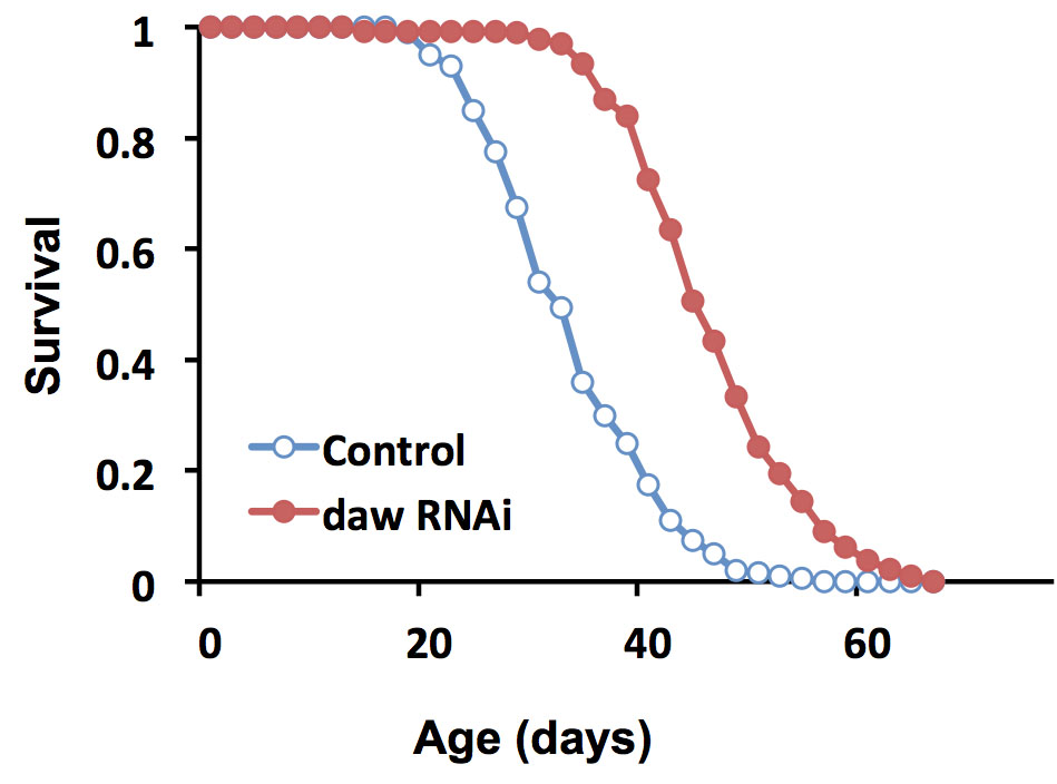 The life of flies: Flies in which expression of the protein dawdle was suppressed lived substantially longer than control flies. At about 40 days, a low percentage of control flies still lived, while a high percentage of dawdle-suppressed flies were still alive. Credit: Tatar lab/Brown University