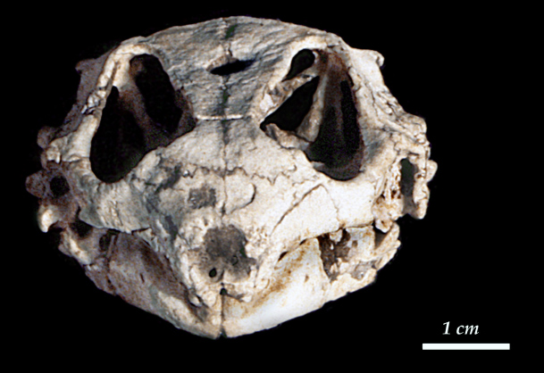 Reptile precursor: The skull of the procolophonid Hypsognathus was found in Fundy basin, Nova Scotia, which was hotter and drier when it was part of Pangaea. Mammals, needing more water, chose to live elsewhere.