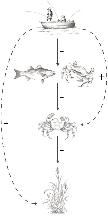 Food chain interrupted: By harvesting striped bass, blue crabs and other predators, recreational fishermen unwittingly allow the Sesarma crab population to soar, resulting in greater predation of marsh grasses.