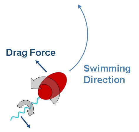 Bacterial Stroke: This image shows how opposite rotation of the head and tail of the single-celled microbe Caulobacter crescentus creates drag, which helps dictate the bacterium's swimming direction in a fluid. The other influence is a phenomenon called Brownian motion.