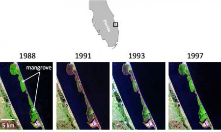 Sensitive to the cold: A very harsh winter in 1989 caused mortality in mangroves and damaged citrus crops. Satellite images show how mangroves rebounded when they were no longer threatened by cold snaps. Credit: Kyle Cavanaugh/James Kellner